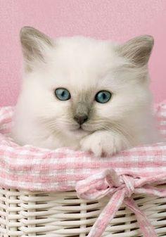 Pink Posy cottage kitten