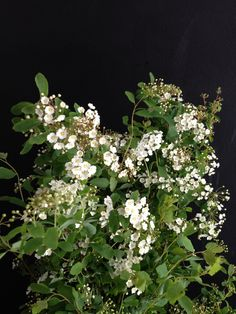 English spirea (blooming branch that might be available)