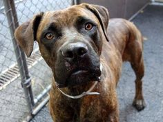 TO BE DESTROYED - 8/28/14 Manhattan Center -P   My name is PERSEPHONE. My Animal ID # is A1011532. I am a female br brindle mastiff and boxer mix. The shelter thinks I am about 4 YEARS old.  **$400 DONATION to the NEW HOPE RESCUE that pulls. Please PM URGENT for details**