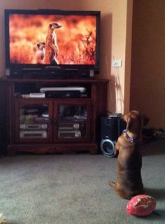 dog watching meerkats