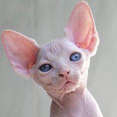 I May be Bald Novelty... but my Dad still loves me Hairless Cat Travel Mug