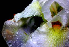 White iris with inchworm  #plant #white #iris #inchworm #photography