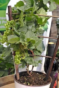 Growing Grapes in Containers - Diy garden projects - Tipos de Jardim Hydroponic Gardening, Organic Gardening, Container Gardening, Aquaponics Diy, Indoor Gardening, Balcony Gardening, Backyard Plants, Gardening Books, Garden Plants