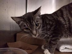 BETTY - A1040217 - - Manhattan **TO BE DESTROYED 08/03/15** Beautiful BETTY is a 7-month-old kitten who has been living in a foster home, thanks to the ACC's in-house foster program. It's one thing for the public to not realize the ACC is a high-kill shelter and to bring a cat there, but for am ACC foster to bring a cat back? When they must realize how few cats walk out of that horrible shelter alive? Unbelievable. BETTY is less than a year old and she deserves