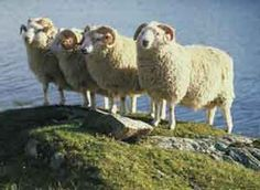The Shetland Islanders developed their small, multi-coloured sheep to produce a very fine, soft wool of vastly superior quality to that produced by most British breeds.  Eleven main whole colours are recognised, with shades in between including white, moorit (moor red), skiela (brown grey), emsket (bluish grey), mioget (yellowish brown), dark brown and black. It is this variety which was so commercially important to the wool industry of the islands where natural wools were often used undyed…