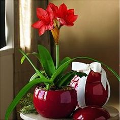 RED! and round and gorgeous. Would love to plant my amaryllis in this.