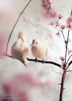 Beautiful doves perched on spring cherry blossom branches Pretty Birds, Love Birds, Beautiful Birds, Animals Beautiful, Cute Animals, Frühling Wallpaper, Eagle Wallpaper, White Doves, Mundo Animal