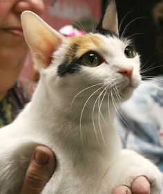 10 Cat Breeds That Love Water - Cats Tips & Advice   mom.me