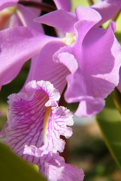 Exotic Plants, Exotic Flowers, Beautiful Flowers, Simply Beautiful, Cattleya Orchid, Gardens By The Bay, Orchidaceae, Landscaping Plants, Flowers Nature