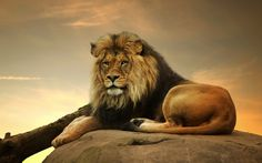 lion wallpaper - Google keresés