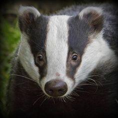 Badger Portrait - BWC by wendysalisbury, via Flickr