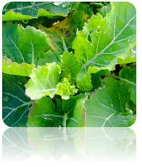 Kale (Premier) Seeds at $.99/pack | Grow Your Own Organic Kale NON-GMO