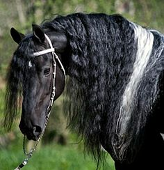 Barockpinto stallion, Allard BP21, of Pinto Friesians in the Czech Republic.