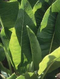 Advice on growing horseradish