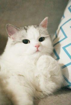 Cats Wallpapers ✧ Cute Baby Cats, Cute Cats And Kittens, Cute Baby Animals, Cool Cats, Kittens Cutest, Pretty Cats, Beautiful Cats, Kawaii Cat, Cat Wallpaper