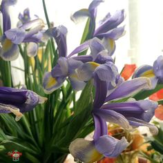 #faded #iris #theylastedwell  #WPH_25 #WPH_25_sceris #weeklyphotohunters #photohunt Photos from my travels