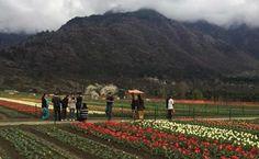 अगर आप कश्मीर आने की तैयारी में हैं तो जल्दी जाइए, क्योंकि एशिया के सबसे बड़े ट्यूलिप गार्डन को