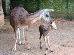 filhote de lhama