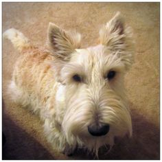 The Dougall Diaries: Being wheaten...