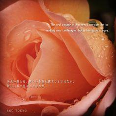 初めて雨の中撮った。枯れた薔薇。#写真 #Photo #薔薇  #Rain   #Rose   #ForTheFirstTime  #ItPhotographed