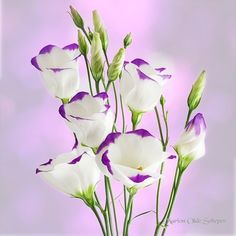 Photograph Lisianthus by Marion Olde Scheper on 500px