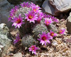 Mammillaria cacti blooming in my desert garden