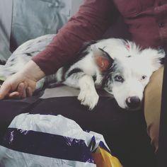 Border collie puppy dog blue merle