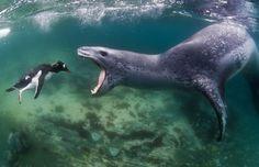 ヒョウアザラシがペンギンを襲う写真が恐い