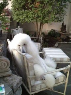 #poodles #standard #poodles A Day To Relax