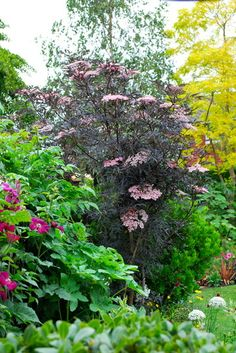 A Garden Picture Of Sambucus Nigra Common Elder Black Lace Although This Was Pruned Severely It Has Made An Enormous Amount Growth