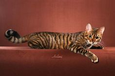 """Toyger cat. The result of breeding domestic shorthaired tabbies to make them resemble a """"toy tiger"""". The breed's creator has stated that the breed was developed to inspire people to care about the conservation of tigers in the wild."""