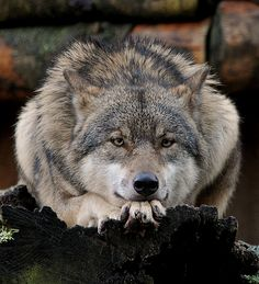 Wolf watching and waiting. Wolf Photos, Wolf Pictures, Animal Pictures, Beautiful Wolves, Animals Beautiful, Cute Animals, Beautiful Eyes, Der Steppenwolf, All About Wolves