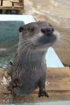 Sweet otter Otters Cute, Baby Otters, Otter Pup, Sea Otter, Cute Kawaii Animals, Cute Funny Animals, Animals And Pets, Baby Animals, Odd Animals