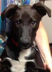 Mickey: Labrador Retriever, Dog; Belleville, MI