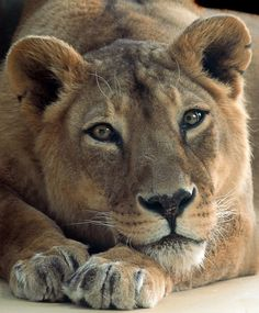 page is about all kinds of wild cats lions tigers jaguars panthers etc Big Cats In Boxes, Beautiful Cats, Animals Beautiful, Big Cat Tattoo, Tattoo Ink, Tattoos, Animals And Pets, Cute Animals, Wild Animals
