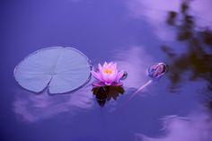Free photo: Lotus, Natural, Water, Meditation - Free Image on . Home Tutors, Meditation Music, Guided Meditation, Mindfulness Practice, Mindfulness Meditation, Healing Meditation, Relaxing Music, Ubud, Yoga Retreat