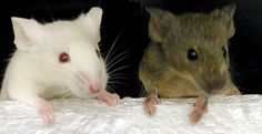 Pet mice, yes I had some of those too. Stuart Little, Pet Mice, Veterinary Medicine, Little My, Rodents, Dog Cat, Pets, Animals, News Online