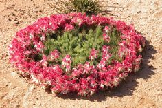 There are at least 12,000 plant species living across the state of Western Australia! This unusual, low growing plant, Lechenaultia macrantha, - or wreath flower - is not found anywhere else in the world.  The large yellow, pink and red flowers appear at the ends of the branches which grow out in a ring of up to a metre in diameter. It's flowering period is around August to November.  Tony Smith #wildflowers #westernaustralia Growing Succulents, Growing Flowers, Growing Plants, Planting Flowers, Australian Native Flowers, Australian Plants, Unusual Flowers, Red Flowers, Outdoor Gardens