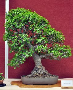Bonsai Tree Care - Learn How to Grow, Prune, and Care for Bonsai Trees