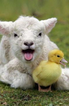 Malá ovečka