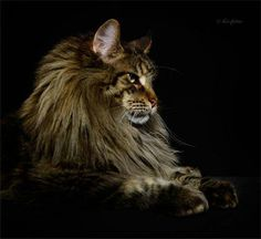 Want to know if a Kitten Is A Maine Coon then look no further, we've listed some key things like Maine Coon fur thickness, Body Size and Traits to look for Pretty Cats, Beautiful Cats, Animals Beautiful, Cute Animals, Big Cats, Cool Cats, Cats And Kittens, Tabby Cats, Angels