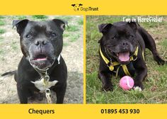 Chequers at Dogs Trust Harefield is looking for a home that will be able to give him the home comforts that he wants! He loves people, and his toys! He is 10 years young an loves to have a run around playing fetch. Chequers loves to have a bum rub and cuddles after a walk. He is a typical staffi, so please ask about him today as he just wants to be in a home now. Chequers is part of our full foster scheme, so please ask about this when you call us!