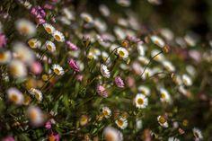 Macro, Daisy Chain by cushlamonk
