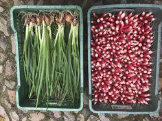 Świeże warzywa prosto z pola