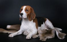 Download wallpapers Beagle, domestic dog, British dogs, pets, 4k