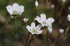 Eremognne capillaris - Mountain Sandwort