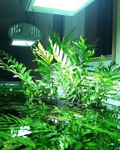 Freshwater Aquarium Plants, Nature Aquarium, Planted Aquarium, Aquarium Fish, Home Crafts, Fresh Water, Underwater, Fish Tanks, Indoor