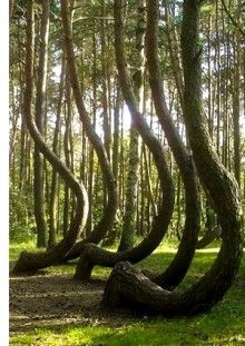 Nature's lounge chairs // Poland's Crooked forest