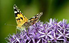Butterfly, Fotp: M. Schneider