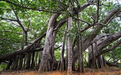 Thimmamma Marrimanu  Banyan    The branches of the 200-year-old Thimmamma Marrimanu are spread over five acres, earning it a mention in the 1989 Guinness Book of Records as the world's biggest tree. Locals say that childless couples who worship in its shadow will conceive the following year.